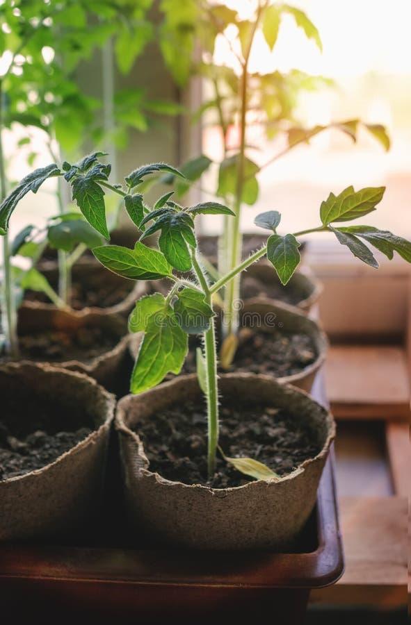 Tomatenzaailing het groeien in een container op het venster in de uitgraving van de grond bij zonsondergang royalty-vrije stock afbeelding