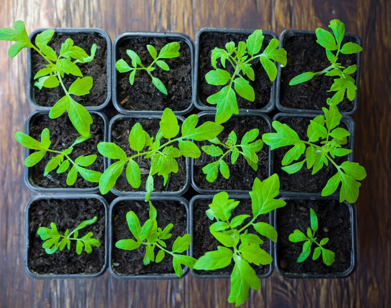 Tomatenzaailingen in dienblad voor spruit in serre Selectieve nadruk royalty-vrije stock afbeeldingen