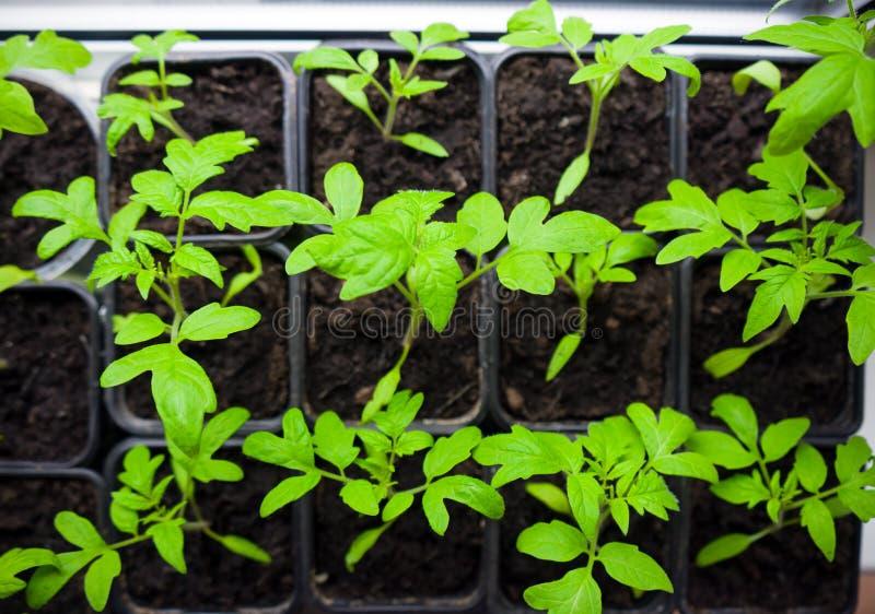 Tomatenzaailingen in dienblad voor spruit in serre Selectieve nadruk royalty-vrije stock afbeelding