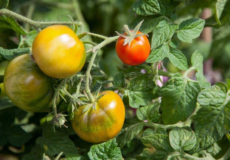 Tomater i drivhuset arkivbild