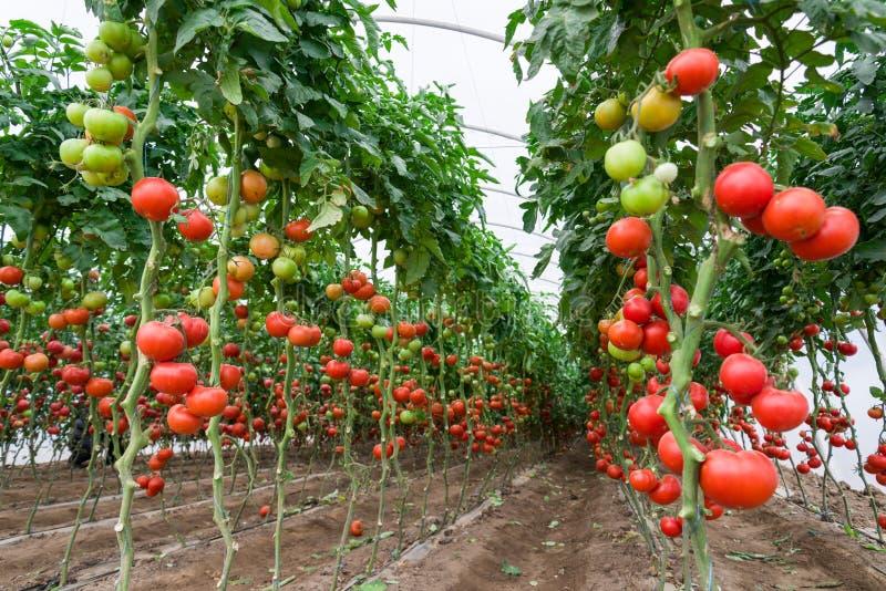 Tomater i ett växthus arkivfoto