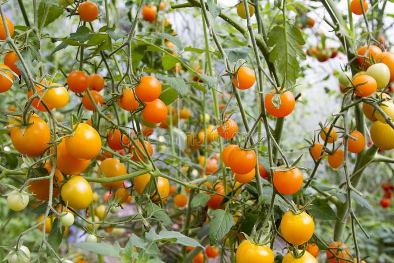 Tomater i växthus royaltyfri foto