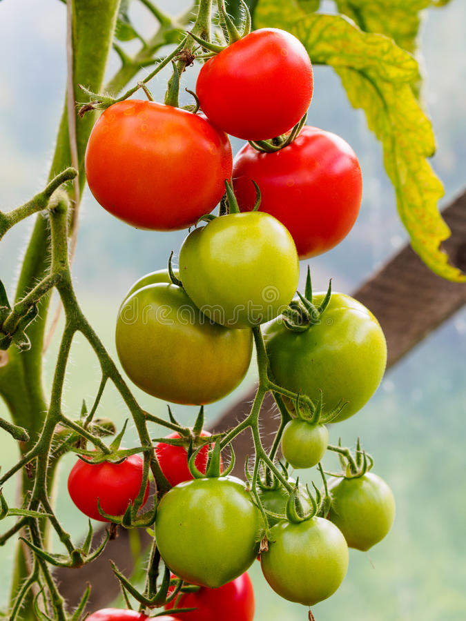 Tomater i växthus royaltyfri bild