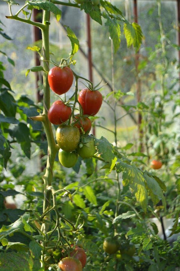 Tomater i växthuset royaltyfri fotografi