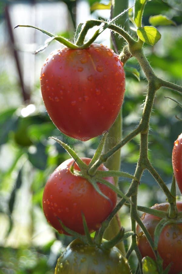 Tomater i växthuset royaltyfria bilder