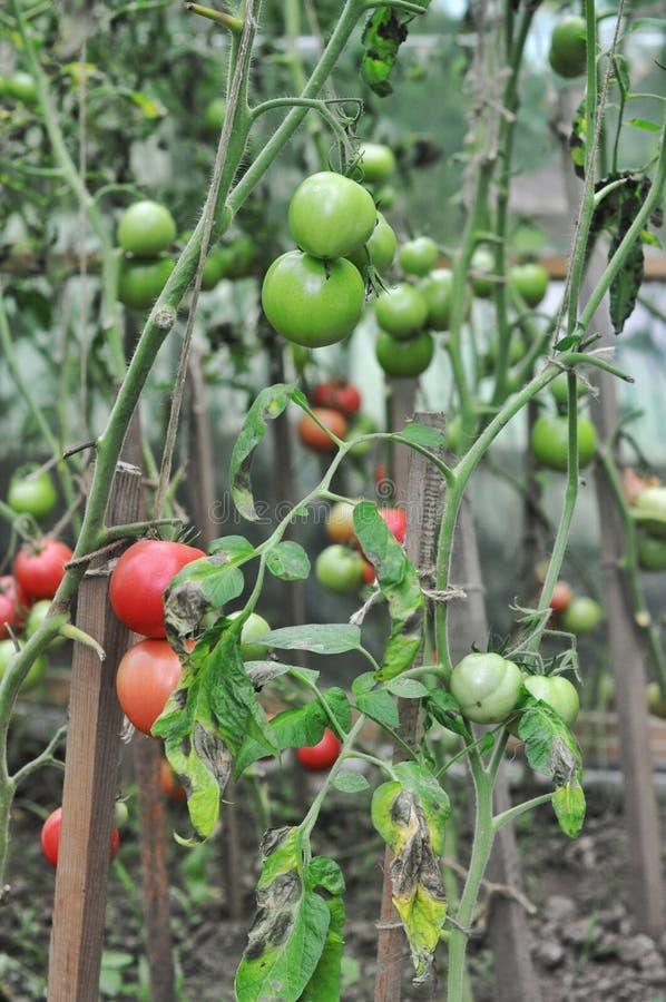 Tomater i växthuset arkivfoto