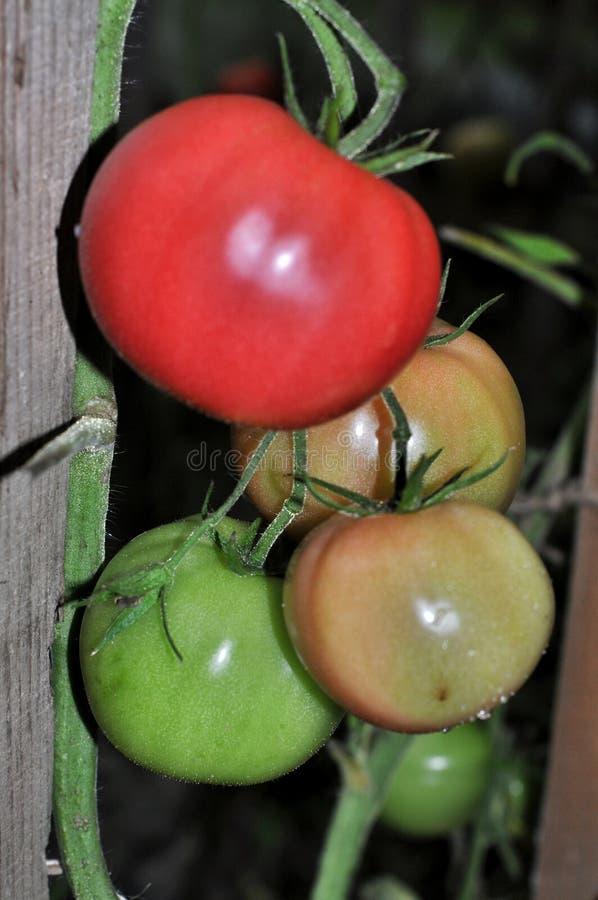 Tomater i växthuset arkivfoton