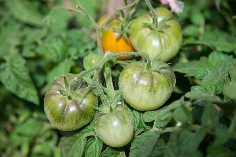 Tomater i växthuset arkivbilder