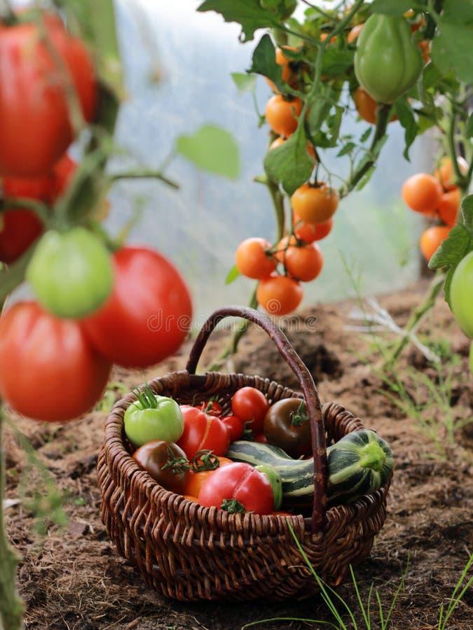 Tomater och zucchini i en korg i växthus arkivbilder