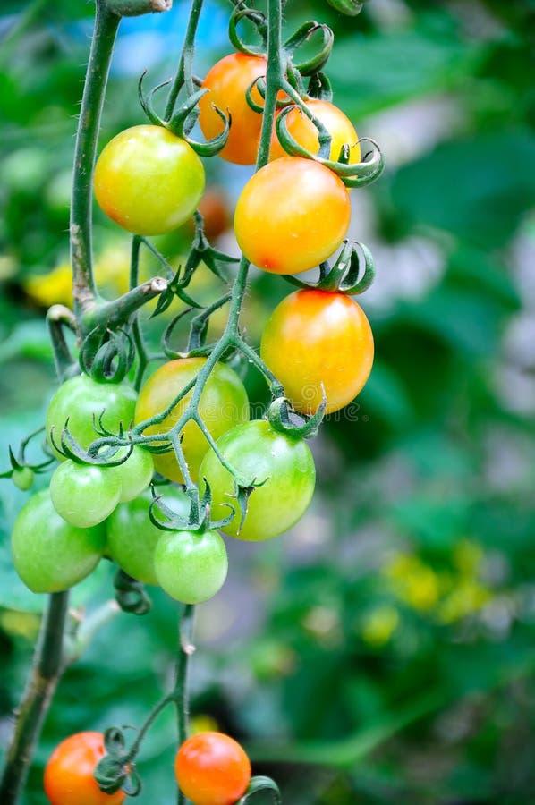 Tomater på vinen royaltyfria bilder