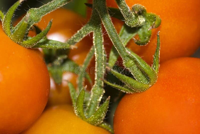 Tomates. photographie stock libre de droits