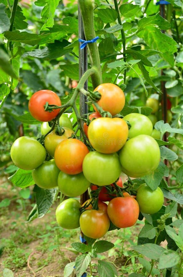 Download Tomates foto de archivo. Imagen de alimentación, agricultura - 64201380