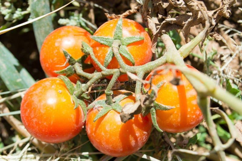 Tomates biológicos cultivando en el suelo imagen de archivo