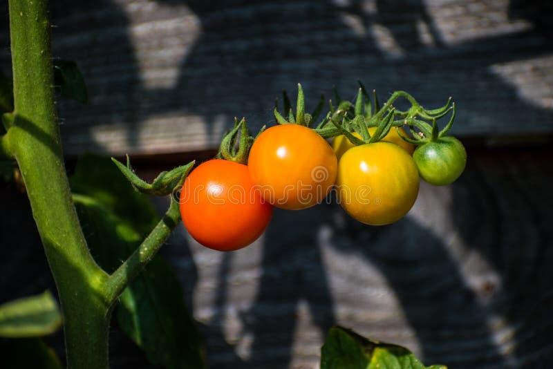 Tomates-cerises d'or de Sun à différentes étapes de maturité sur la vigne photographie stock