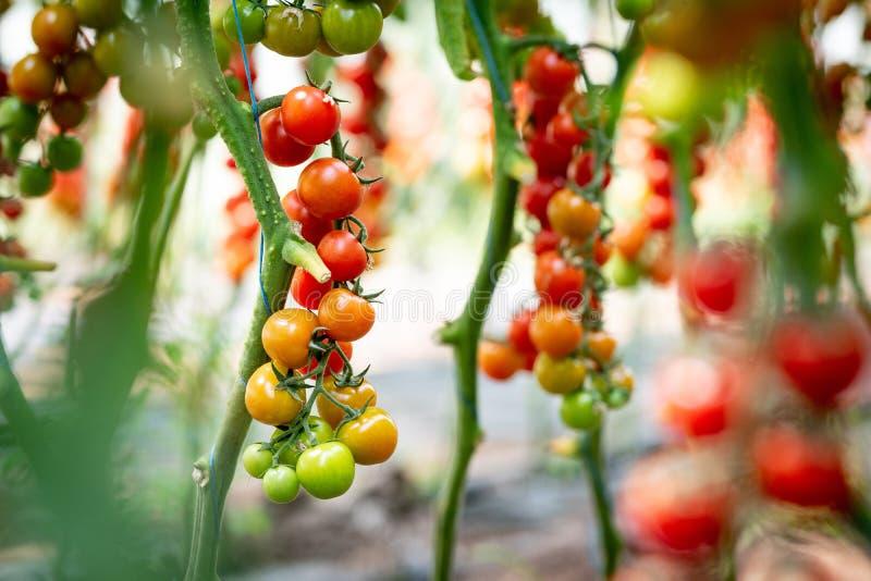 Tomates-cerises de maturation sur un buisson en serre chaude images libres de droits