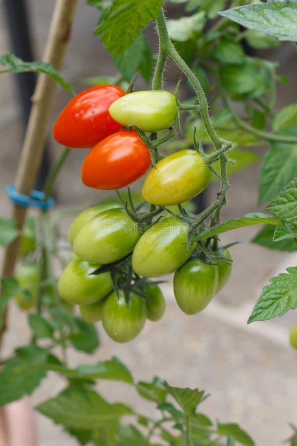 Tomates-cerises mûrissant dans un potager image stock