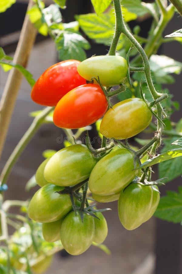Tomates-cerises mûrissant dans un verger images stock