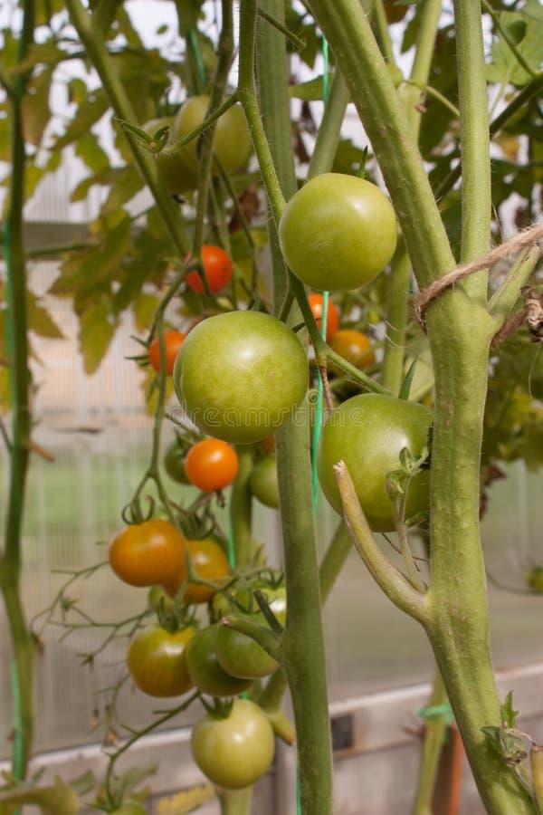 Tomates-cerises oranges et vertes sur la branche images libres de droits