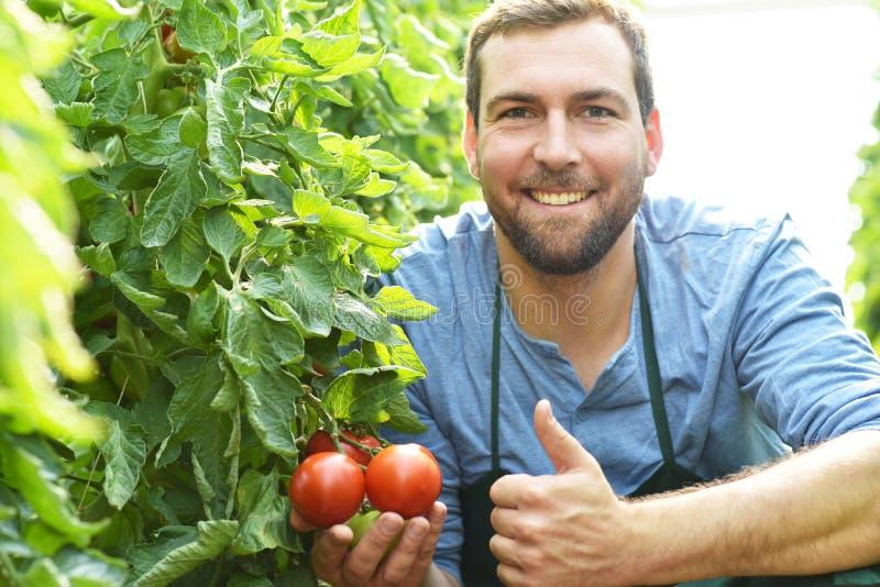 Tomates crescentes do fazendeiro feliz em uma estufa fotografia de stock royalty free