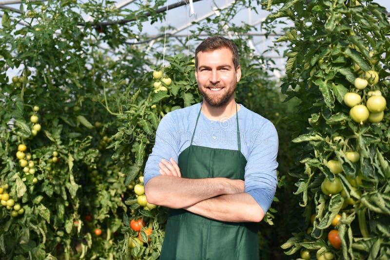 Tomates crescentes do fazendeiro feliz em uma estufa fotos de stock