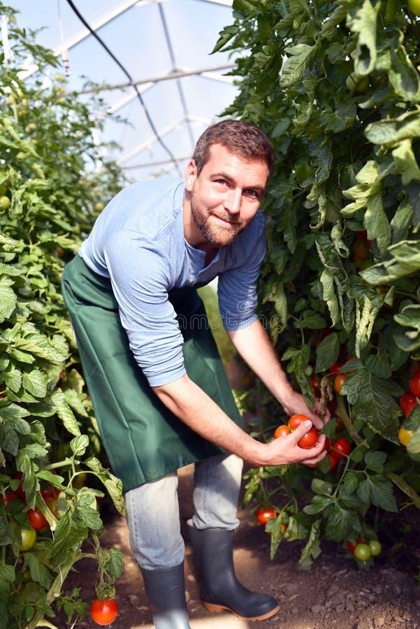Tomates crescentes do fazendeiro feliz em uma estufa fotos de stock royalty free