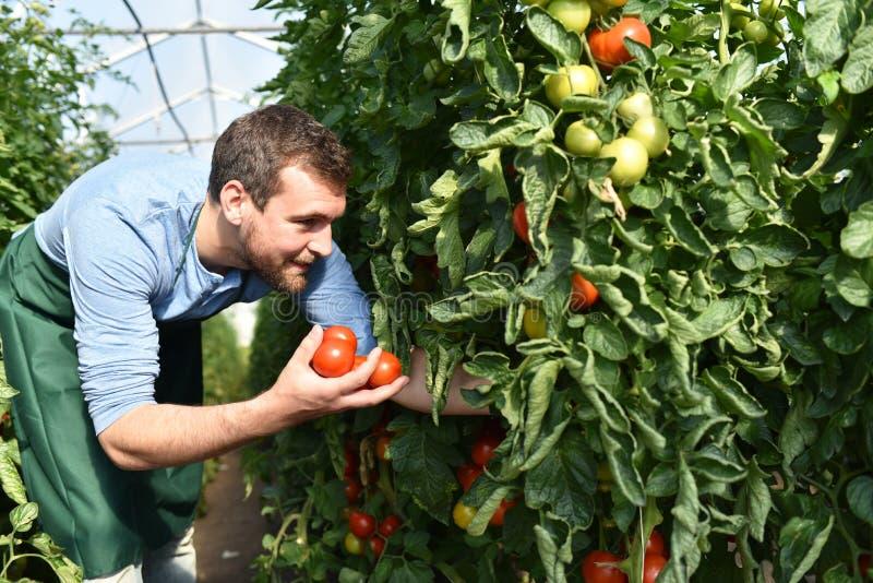 Tomates crescentes do fazendeiro feliz em uma estufa fotografia de stock