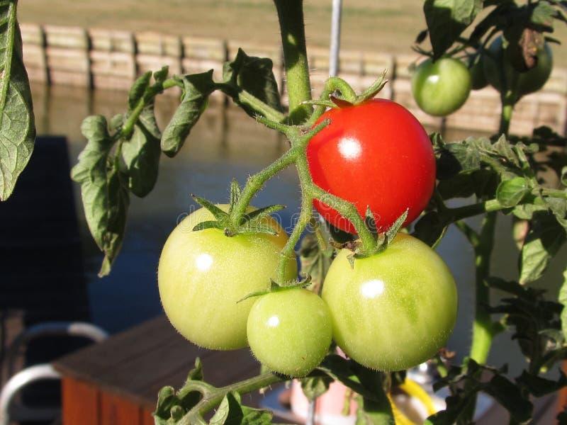 Tomates cultivados em casa imagens de stock