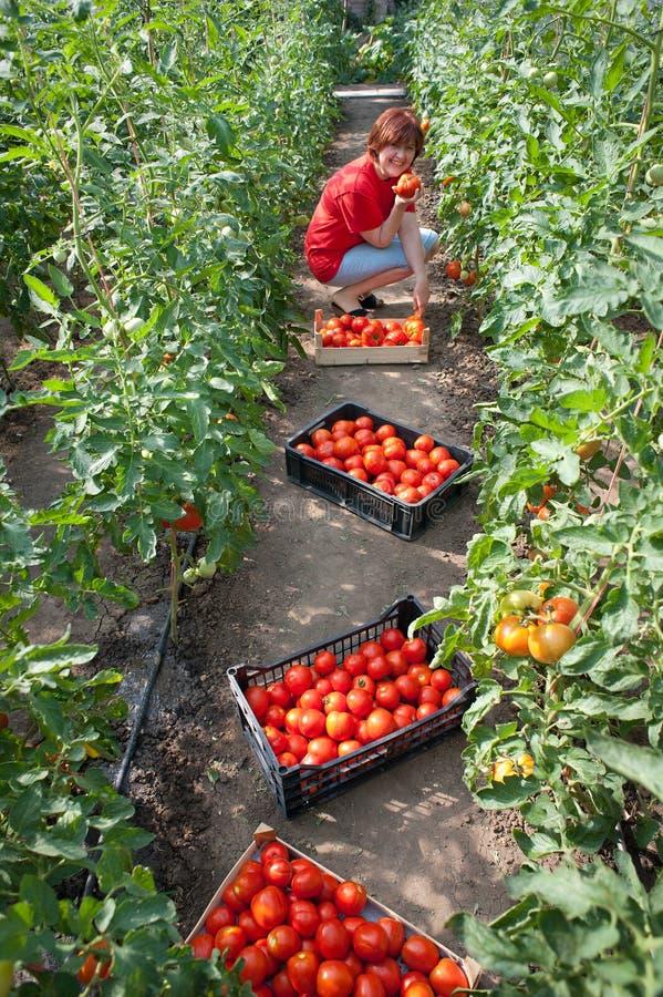 Tomates da colheita da mulher fotos de stock