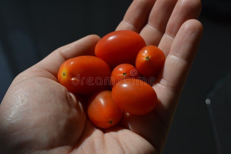 Tomates da uva em uma mão imagem de stock