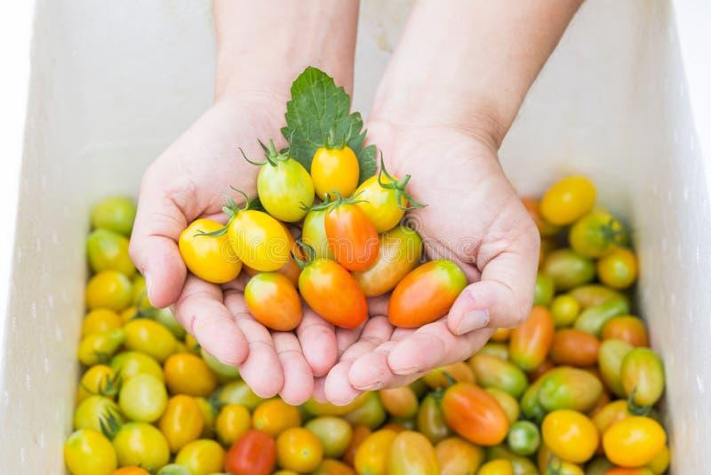 Tomates dans des mains photos stock