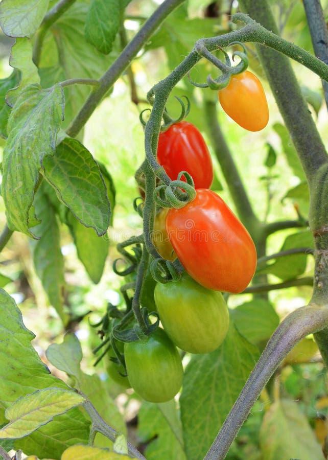 Tomates de ameixa vermelhos na videira imagem de stock