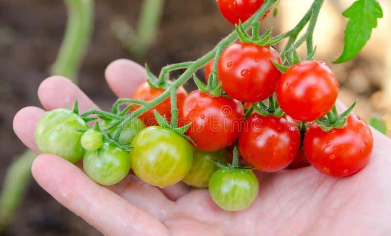 Tomates de cereja disponivéis imagem de stock royalty free