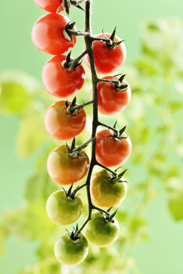Tomates de cereja pequenos imagem de stock