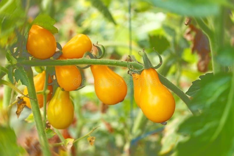 Tomates de cereza amarillos en forma de pera en rama verde fotos de archivo