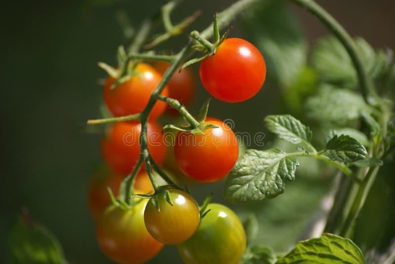Tomates de cereza que crecen en la vid foto de archivo libre de regalías