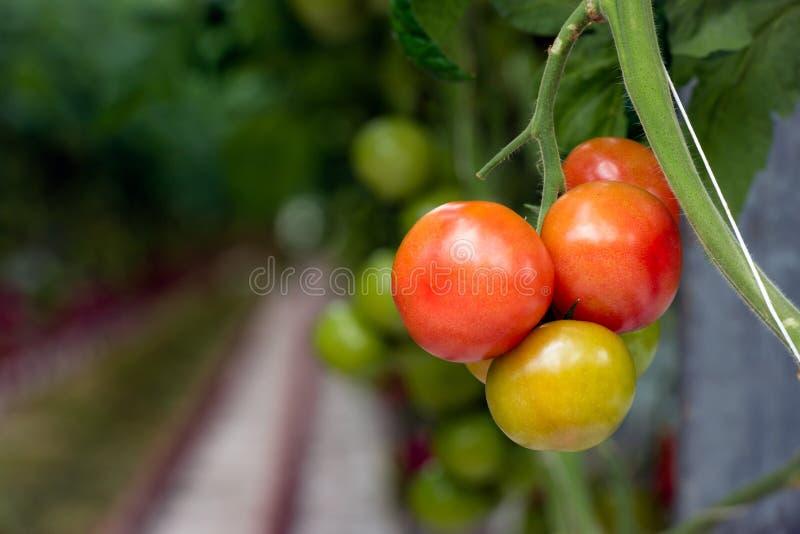 tomates de maduración del Rojo-colorante en una planta en un invernadero de c fotografía de archivo libre de regalías
