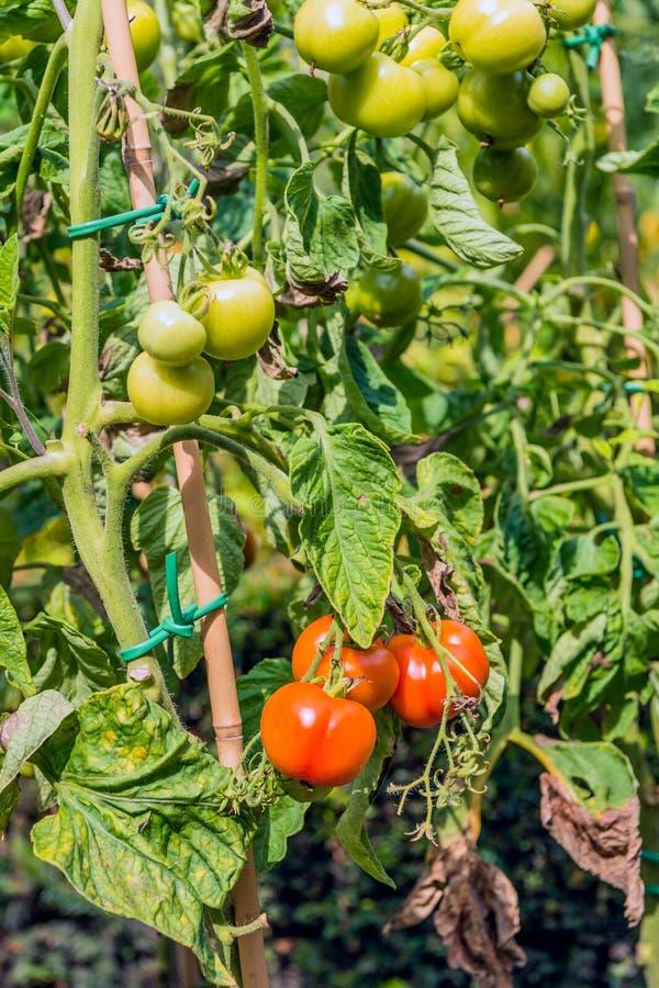Tomates de maduración en un jardín de la ciudad foto de archivo