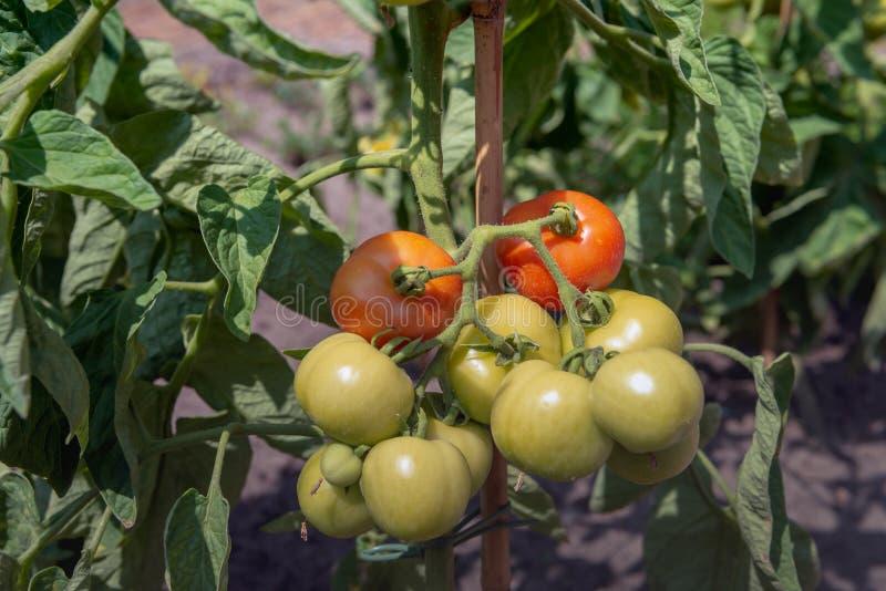 Tomates de maduración en un jardinero aficionado imagen de archivo