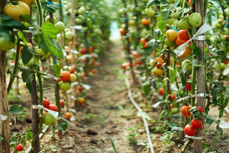 Tomates de maturation en serre chaude photos libres de droits