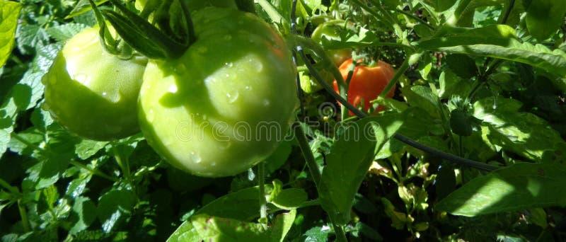 Tomates de maturation - lycopersicum de solanum dans un jardin d'arrière-cour photographie stock libre de droits