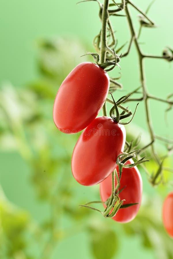 Tomates de Piccadilly imagenes de archivo