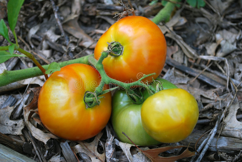 Tomates do jardim fotos de stock royalty free