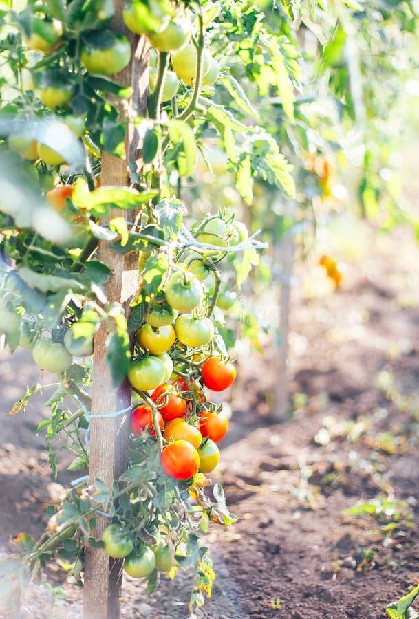 tomates em um arbusto em um maduro vermelho da horta e verde fotos de stock royalty free