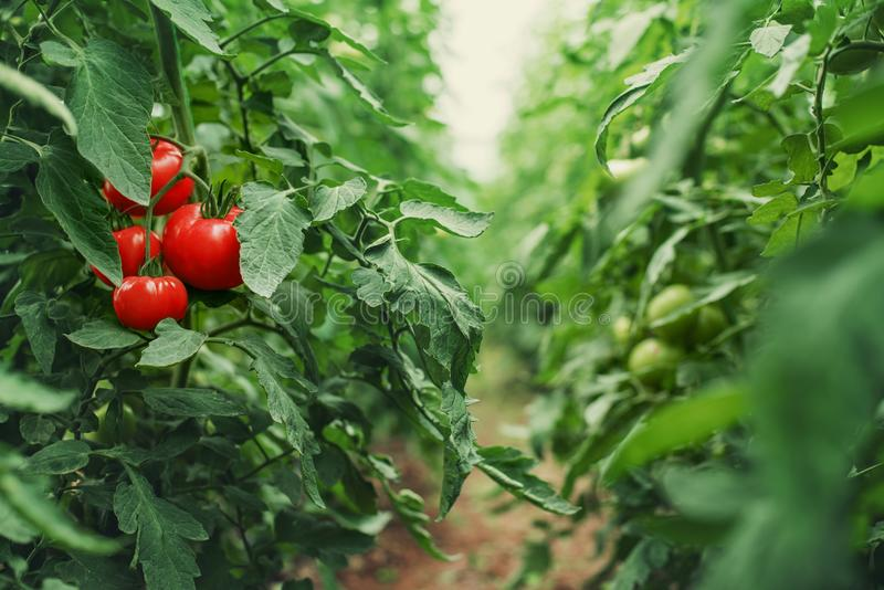 Tomates em uma estufa horticulture vegetais fotos de stock royalty free