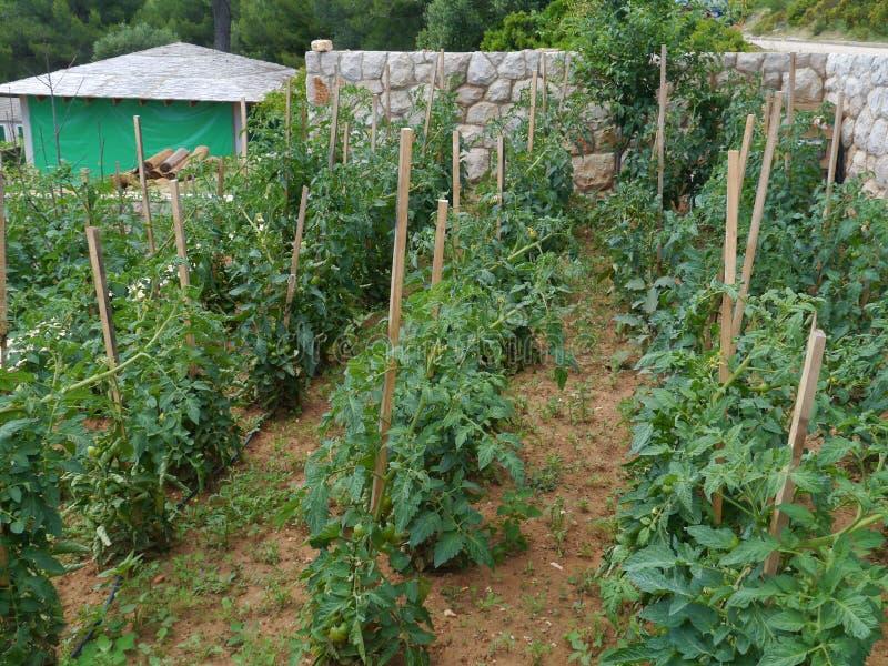 Tomates em uma horta croata imagem de stock royalty free