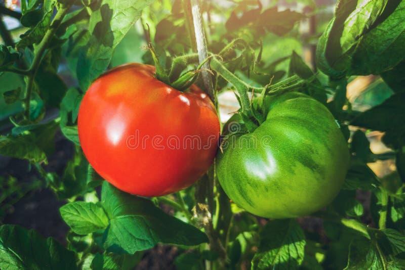 tomates en crecimiento - tomate rojo y verde colgando de la planta fotos de archivo libres de regalías