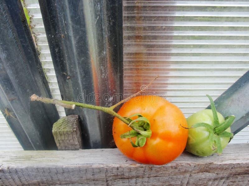 Tomates en el invernadero del jardín fotos de archivo