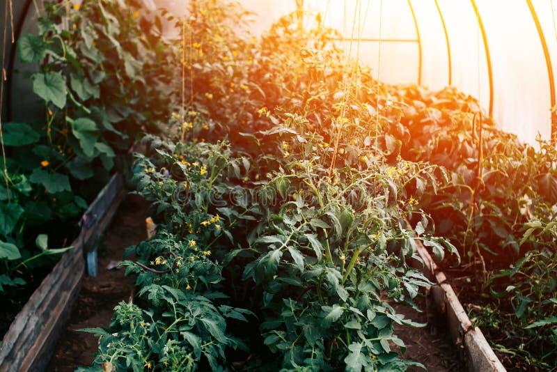 Tomates en el invernadero, las floraciones de Rostock de la planta C imágenes de archivo libres de regalías