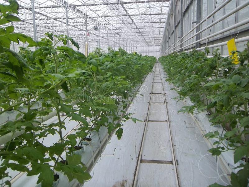 Tomates en serre chaude images libres de droits