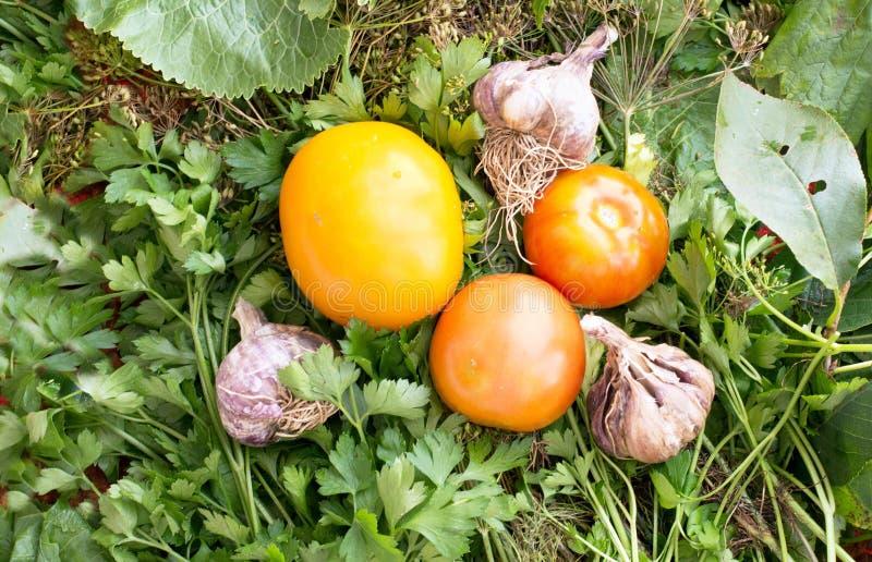 Tomates et ail frais dans un jardin images libres de droits